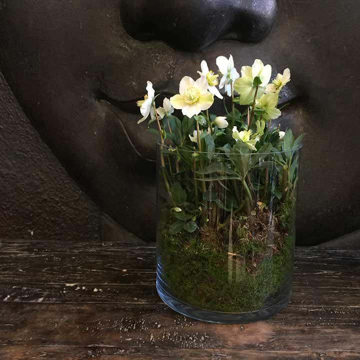 Hellebore dans son joli pot transparent livré dans la journée dans toute la France par Reflets Fleurs votre artisan fleuriste