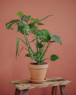 plante verte monstera deliciosa livraison paris fêtes des mères Saint Valentin