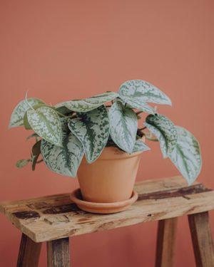 plante verte pothos livraison fêtes de mères Saint Valentin paris