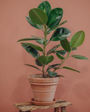 plante verte ficus elastica livraison paris fêtes des mères Saint Valentin