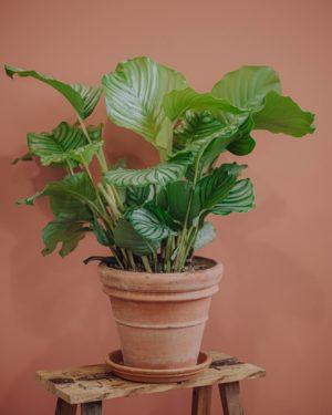 calathea plante verte d'intérieur livraison paris fêtes des mères Saint Valentin